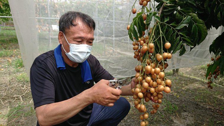 黃皮果進入產季,李添宏整理果樹,修剪果實。記者簡慧珍/攝影