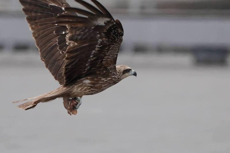 基隆海洋廣場一隻黑鳶腳抓雞頭飛翔。圖/基隆市野鳥學會常務理事沈錦豐提供