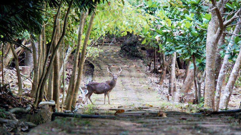 墾丁國家森林遊樂區裡的梅花鹿,也難得在陽光下悠遊在山林步道間。圖/森林護管員沙琦雯提供
