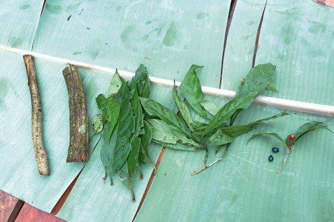 由左而右依序是兩種死藤、雙翅藤、綠九節,還有當地稱為蛇之眼的植物,是金蓮木科的光...