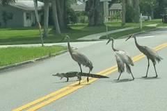 影/鱷魚神氣帶三鶴過馬路… 下秒驚覺「走錯路」慌忙掉頭