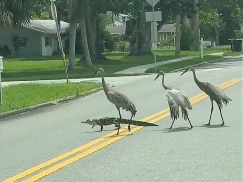 美國有網友拍到鱷魚帶領著三隻鶴神氣過馬路的樣子,然而鱷魚帶路到一半,卻突發發現走錯邊掉頭。圖擷取自grape