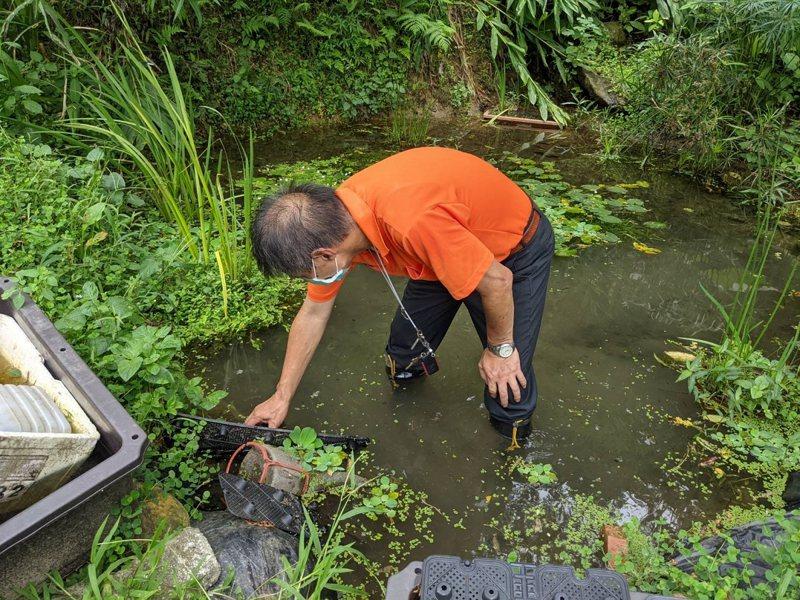 汐止里長陳建興推廣復育蓋斑鬥魚,如果民眾要飼養的話,也可以洽詢公所,有魚可以免費提供。 圖/觀天下有線電視提供