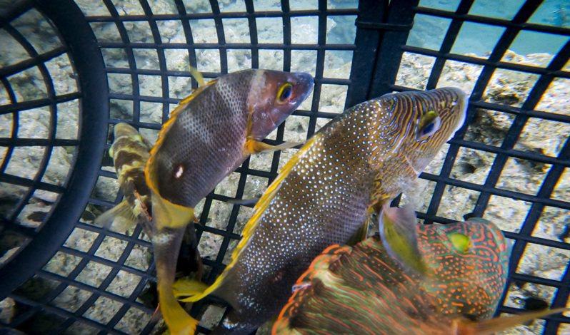 研究團隊在富山保育區內捕捉2尾三葉唇魚及2尾海雞母笛鯛活魚樣本,以手術方式將發報器植入魚體腹部後縫合。圖/台東縣政府提供