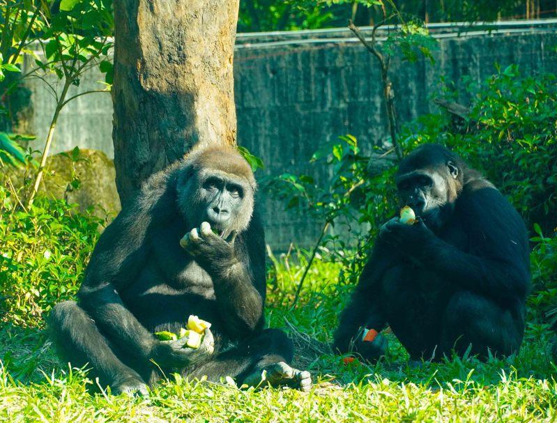 動物園內的巨猿科動物智商高,會出現挑食的狀況,保育員就得想辦法調整食譜讓牠們吃下。圖/台北市立動物園提供