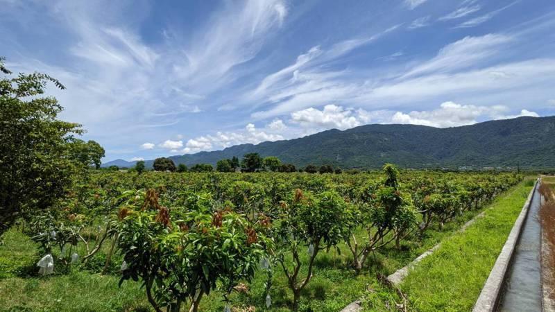 花蓮縣卓溪鄉是夏雪芒果的主要產區,近日進入產季。圖/花蓮縣政府提供