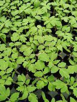 番茄苗。下方黑黑的就是栽培用泥炭土,現在供應不及。圖/業者提供