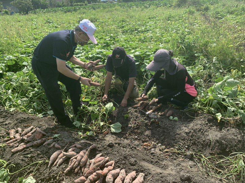 因應一期停灌,台中市大安區農會輔導農民種植57號及66號地瓜。圖/大安區農會提供