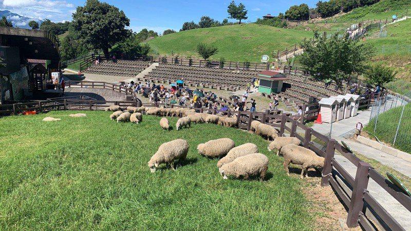 清境農場最著名的綿羊秀,今年首度登場演出,上下午總共吸引700名遊客觀賞。圖/清境農場提供