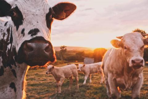 最新研究發現,在牛的其中一個胃內有可以分解塑膠的細菌。 圖/unsplash