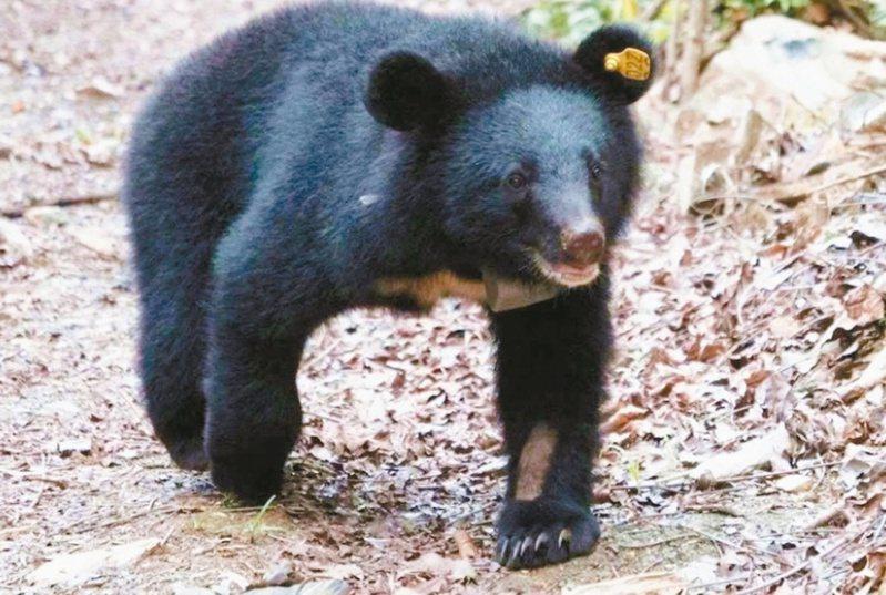 台東縣小熊Mulas去年五月十七日順利野放時離去的最後身影。圖/台東林區管理處提供