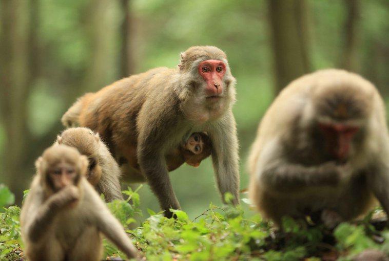 圖為湖南張家界國家森林公園內的野生獼猴群,僅為示意圖,與本新聞無關。新華社
