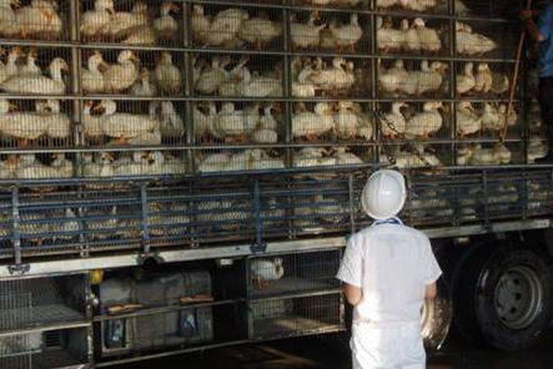 屠宰場在屠宰前,要由專業屠檢人員作衛生檢查。圖/防檢局提供