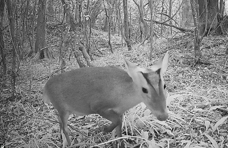 屏東獅子鄉雙流國家森林遊樂區自動照相機拍到的山羌。圖/屏東林管處提供