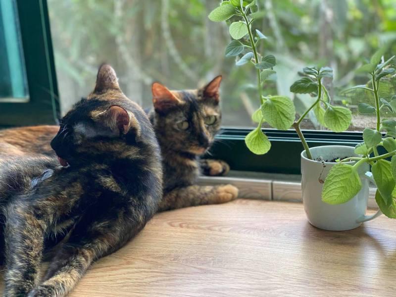 東大團隊在獸醫的協助下,研究腎貓治療,也期待有朝一日能對醫治人類有助益。圖/讀者覃素莉提供