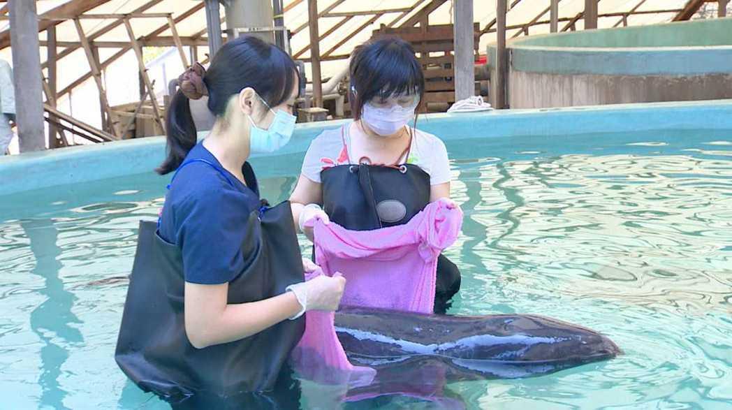 白心儀輪班照顧小虎鯨。圖/東森提供