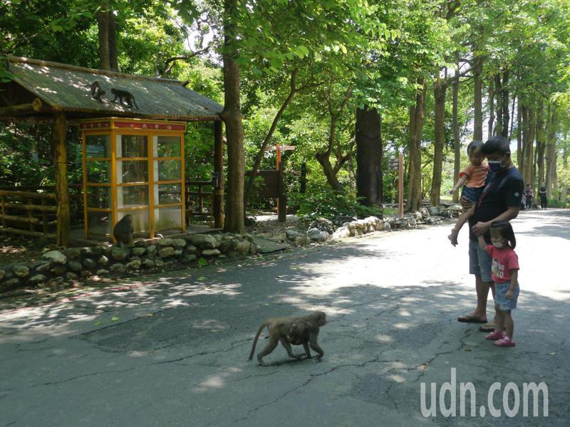 高雄壽山動物園因整修停止開放,家長帶著小朋友去柴山看猴子。記者徐白櫻/攝影