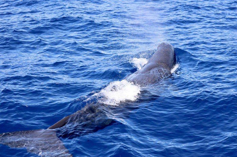 花蓮維納司賞鯨船今天下午出海時,在外海巧遇抹香鯨。圖/維納司提供