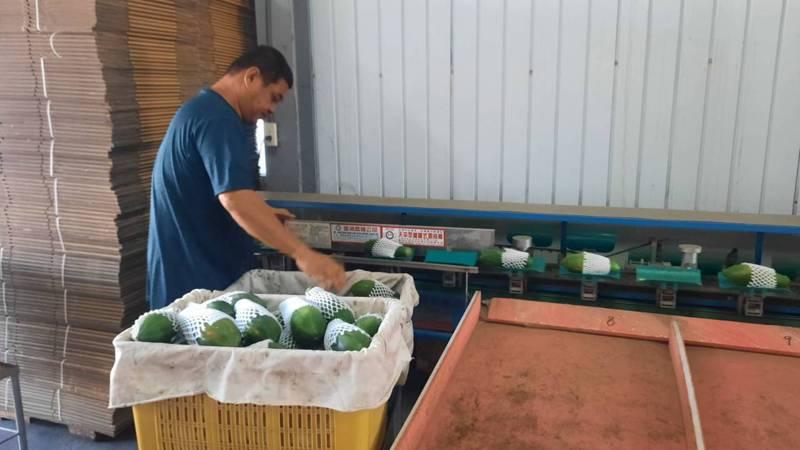 高雄市美濃區果樹產銷第16班的木瓜因產量大、品質佳榮獲今年產銷履歷達人。記者陳玫伶/攝影