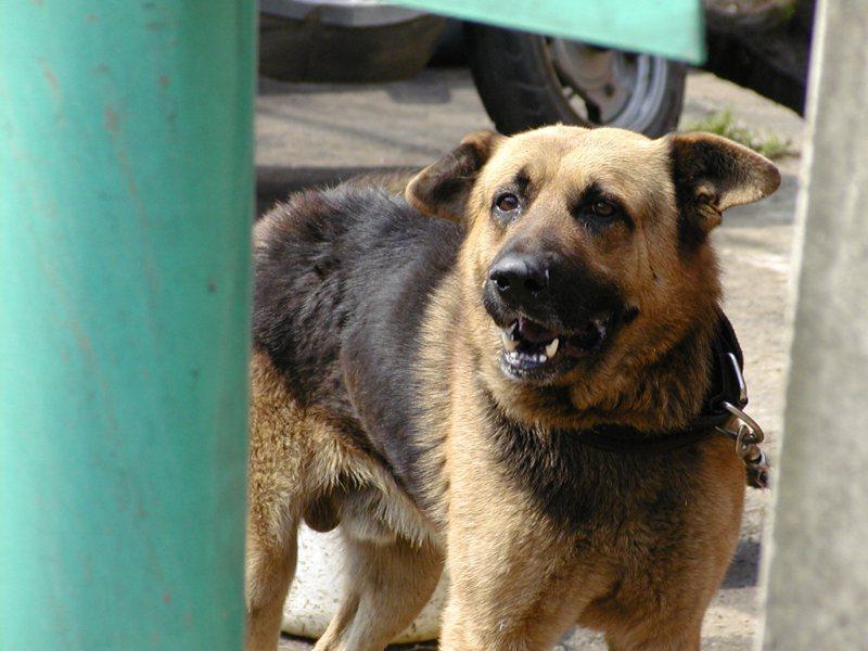 狗狗愛搗蛋不見得是因為純粹頑皮,有可能罹患心理疾病。本報資料照