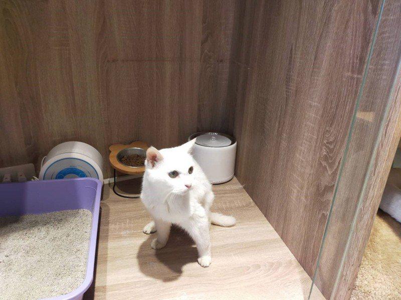 高齡23歲的貓界人瑞「咪咪」,飼主因確診而離世,藉由飼主託夢給女兒,順利回到家人懷抱。圖/新北動保處提供