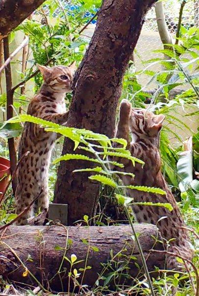 石虎寶寶利用樹皮磨爪子。圖/北市動物園提供