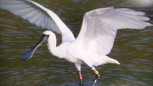 濁水溪出海口生態腹地愈來愈大,吸引黑面琵鷺等珍貴野鳥來棲息,孕育成生態天堂。圖/吳明宜提供