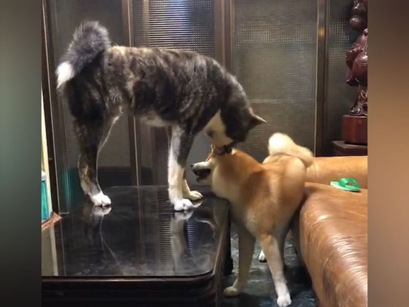 林小姐飼養的2隻秋田犬近來變得躁動,常常會亂咬家具或隨地便溺,甚至彼此間互相叫囂,吵得家人不得安寧。圖/讀者提供