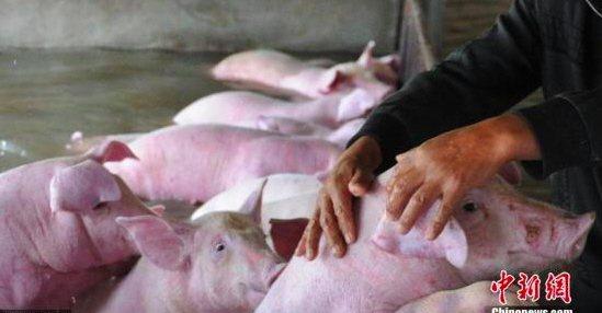 中國農業農村部畜牧獸醫局二級巡視員辛國昌表示,中國境內出現了毒性變弱的非洲豬瘟新毒株,潛伏期長且短期比較難發現,目前中國的非洲豬瘟防控形勢「還是很複雜的」。 中新社資料照片