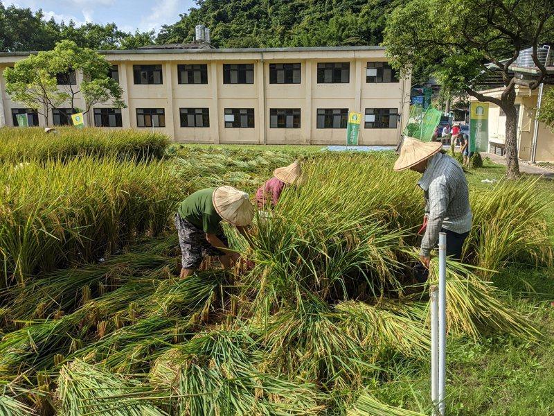 汐止區農會利用閒置穀倉前規劃了一畝水稻田,遇到颱風可能來襲,農會提前收割。 圖/觀天下有線電視提供