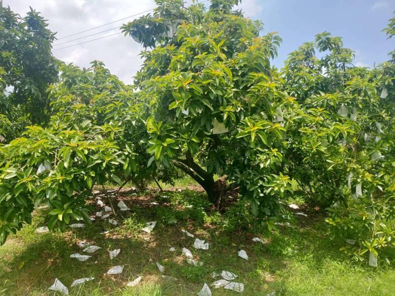 豪雨造成台南山上區酪梨植株落果。記者周宗禎/翻攝