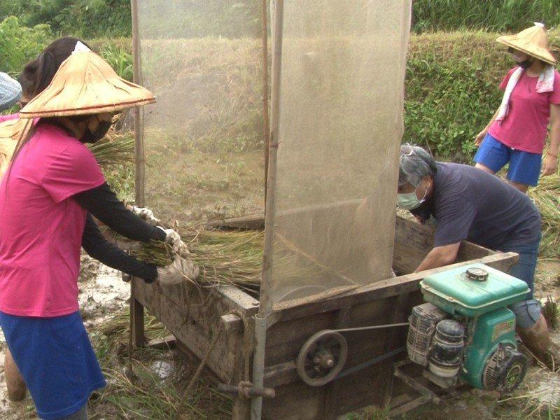 豐珠中學師生搶收貢寮區雞母嶺的水梯田,收獲400斤的豐珠米,是學生六年耕種以來的大豐收。 圖/觀天下有線電視提供