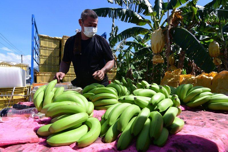 烟花颱風路徑逼近台灣東北角,隨著颱風外圍環流接近台灣,今天有農民提前開始加強防颱準備,香蕉農說:「萬一雨大風大,香蕉就容易倒下,有的先收比較安心一點」。記者尤聰光/攝影