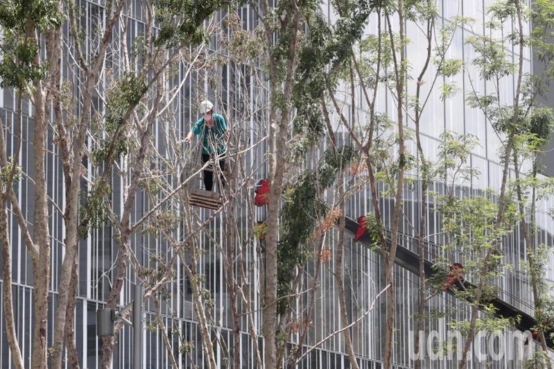烟花颱風行進慢、路徑直逼台灣東北角,氣象局長鄭明典上午PO文指出,烟花颱風幾乎在原地打轉。有些商家與工地開始防颱準備,一座辦公大樓請來吊車將前廣場的樹木進行修剪,防止颱風吹斷樹枝。記者蘇健忠/攝影