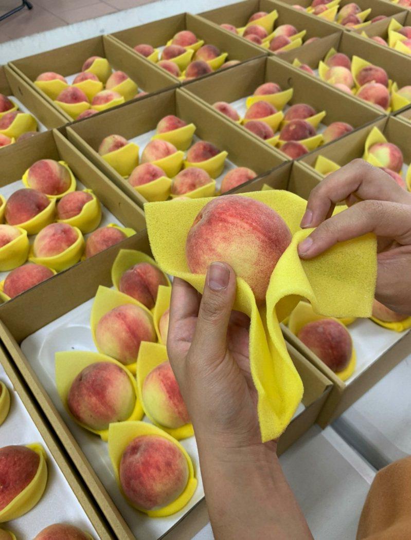 桃園市拉拉山水蜜桃7月「晚桃」果蠅肆虐,農會和農民仍堅持分級包裝,淘汰被叮咬過的水蜜桃。圖/復興區農會提供