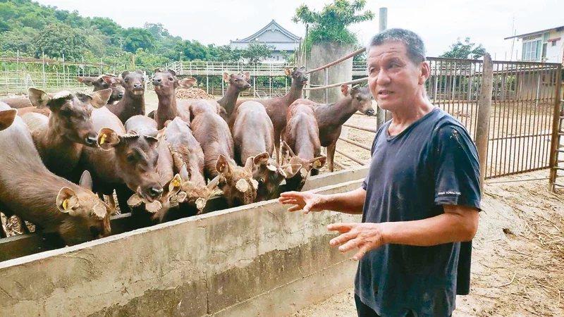 許海龍接手父親水鹿場後逐年改造,以放牧取代圈養,飼養規模已達上百頭。 圖/謝進盛...