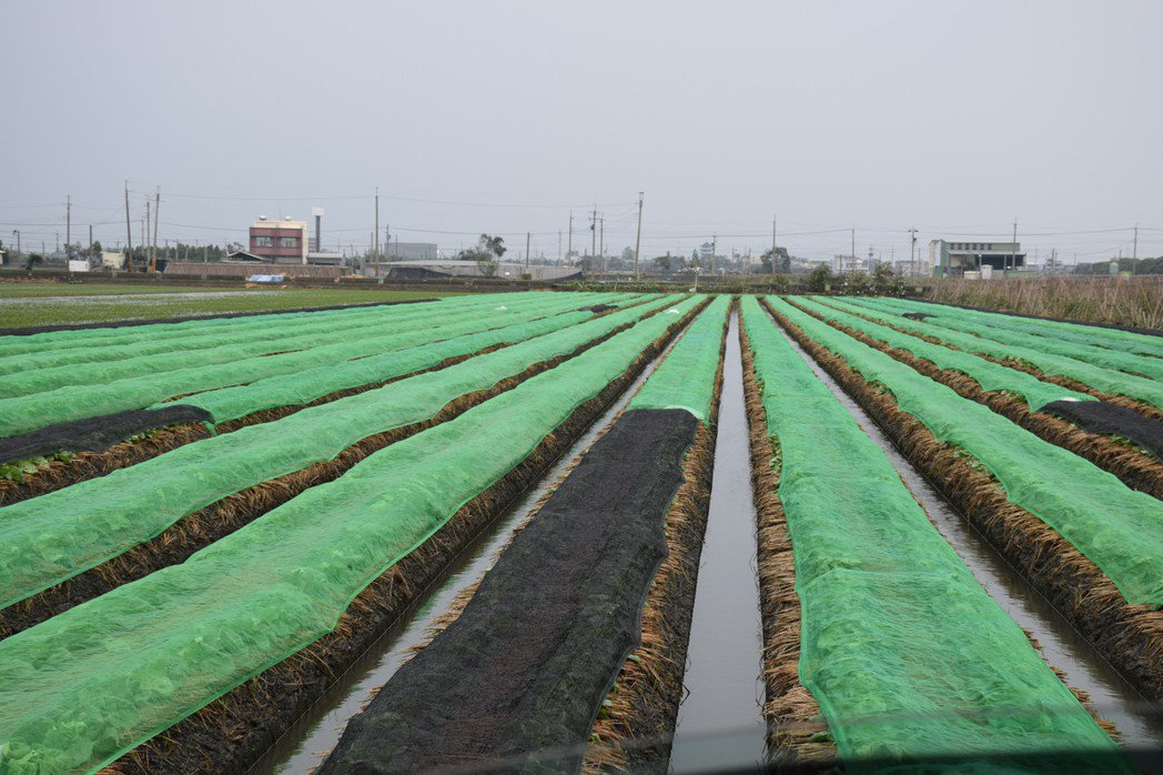 結球葉菜覆蓋塑膠網並加以固定。