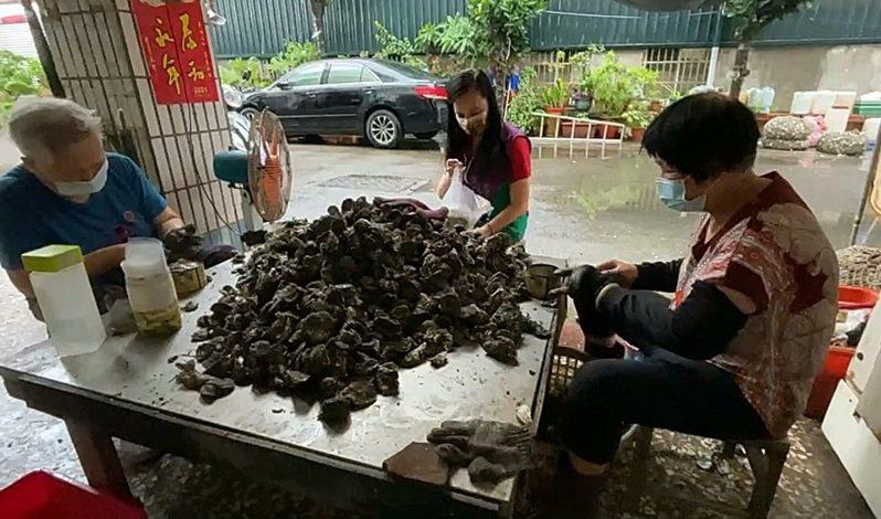 中度颱風烟花來襲,彰化伸港鄉蚵農搶收牡蠣。記者林敬家/攝影