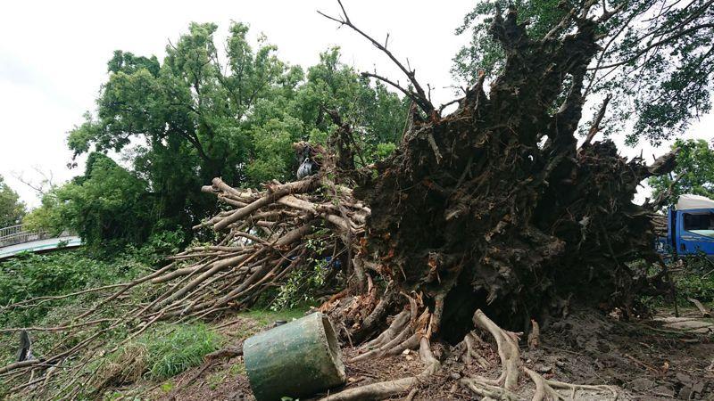 彰化縣北斗鎮扶輪公園的榕樹被風吹倒,樹根疑似感染褐根菌。記者簡慧珍/攝影