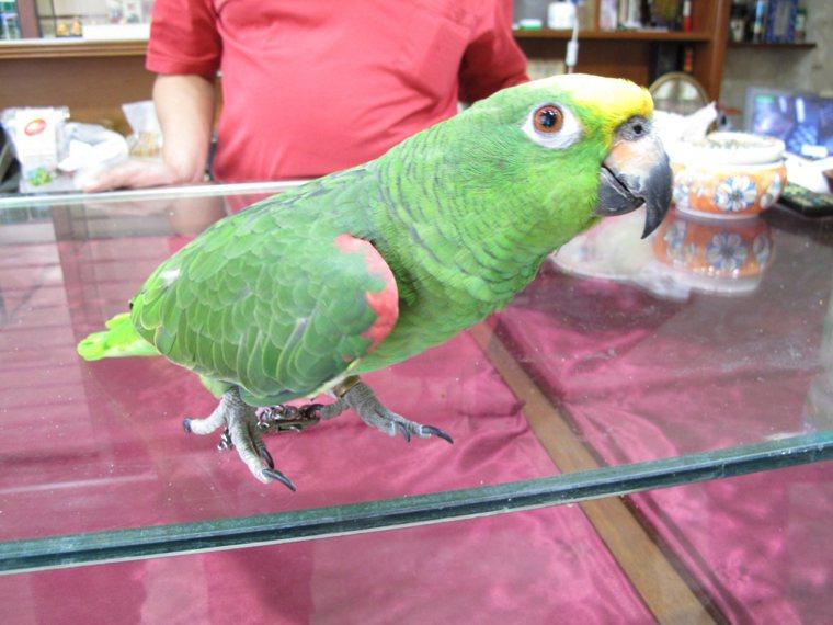 亞馬遜鸚鵡。本報資料照