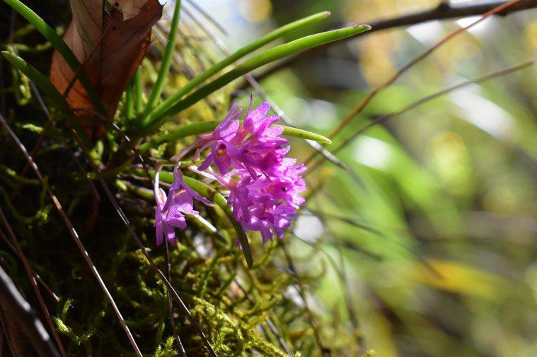 志佳陽大山的小鹿角蘭。圖/張玉玲提供