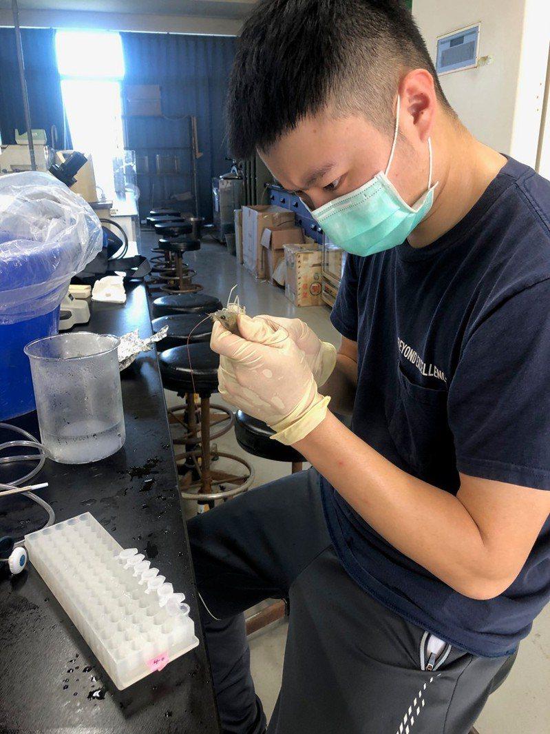 金大食品科學系李欣玫教授團隊獨創以高粱酒糟作為雲芝多醣培養基技術,再添加於蝦飼料中。圖/金大提供