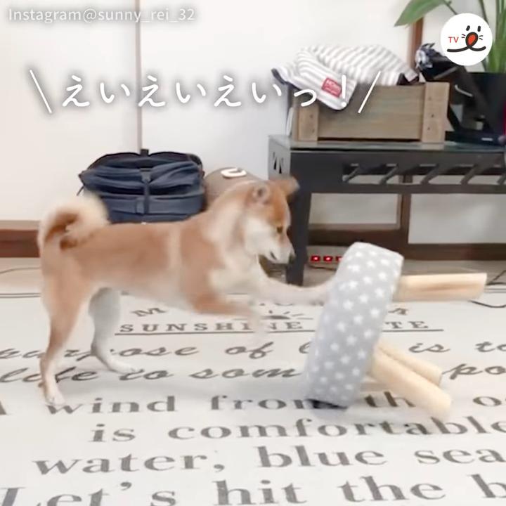 一位日本網友的柴柴碰上板凳,馬上把它當成拳擊沙包一樣猛打。圖擷取自youtube