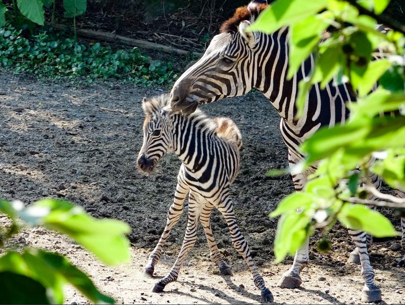 動物園報喜 斑馬寶寶快滿月 北市動物園即將在8月1日起,降載開放民眾入園,動物園開園前再度傳來好消息,非洲動物區的查普曼斑馬媽媽「菲蘭竹」,於7月3日產下一隻雄性斑馬寶寶,快滿月的斑馬寶寶在保育員與媽媽的細心照料下,每天都健康穩定成長。 圖/北市立動物園提供