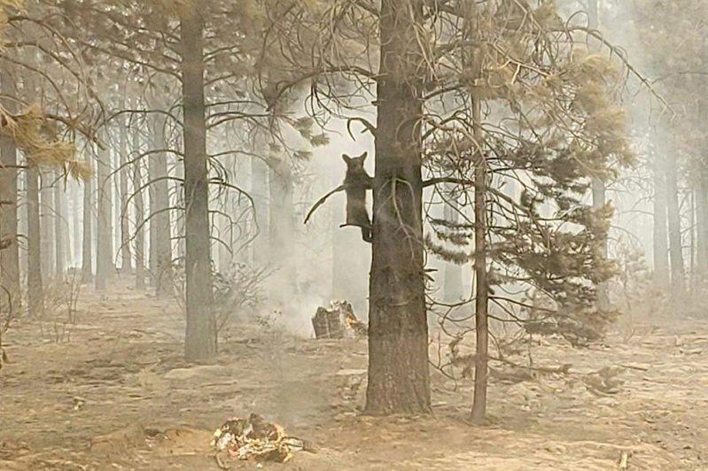 美國俄勒岡州南部發生目前全美規模最大的野火,消防員18日在災區發現一隻幼熊,餵水給牠後再讓牠爬回樹上。美聯社
