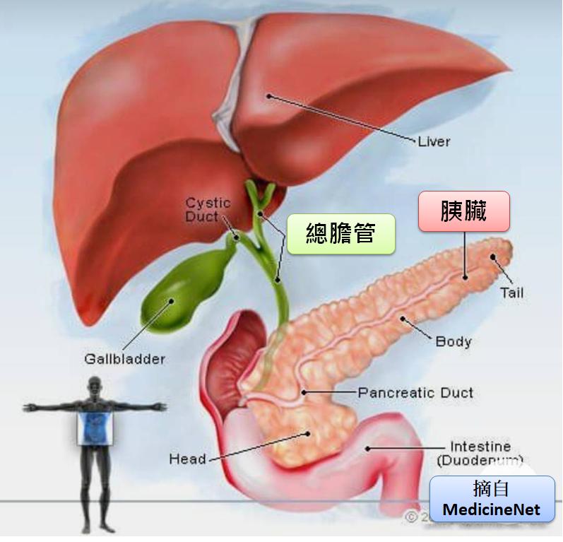 胰臟因為位置特殊一旦有癌變不易被發現。圖/許秉毅提供