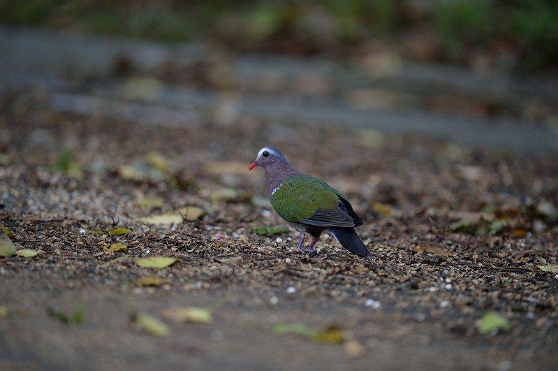 3級警戒封閉景點和公園遊樂設施,讓林口生態有所復甦,保育類動物翠翼鳩現蹤。圖/林口區公所提供