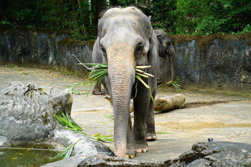 亞洲象:封園77天的動物園終於要在8月1日重新和大家見面了。圖/動物園提供