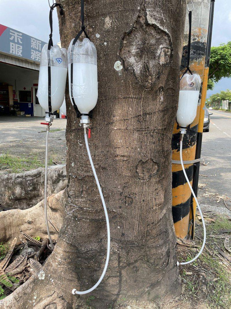 農委會特生中心研發治療褐根病新技術,為5棵集集車站前的老鳳凰木治病,免費提供藥劑。圖/集集鎮公所提供