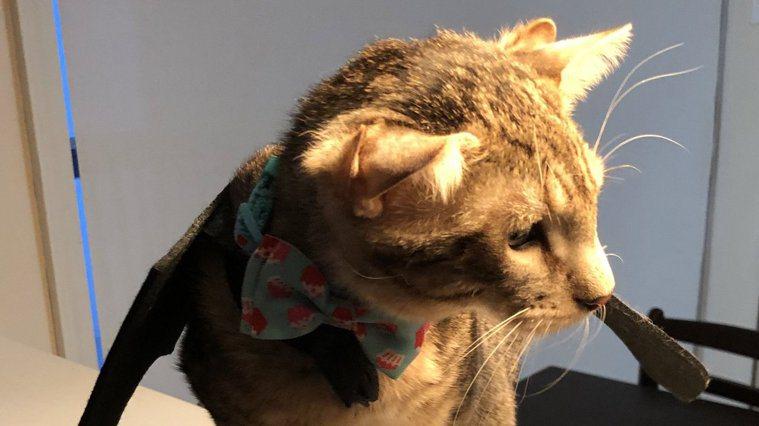 美國四耳貓Aslan。圖/取自推特